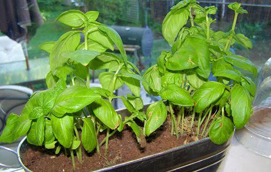 Pousse de fenouil fenouil ou foeniculum officinale ombellifres cultiver et rcolter de luaneth - Salade a couper qui repousse ...