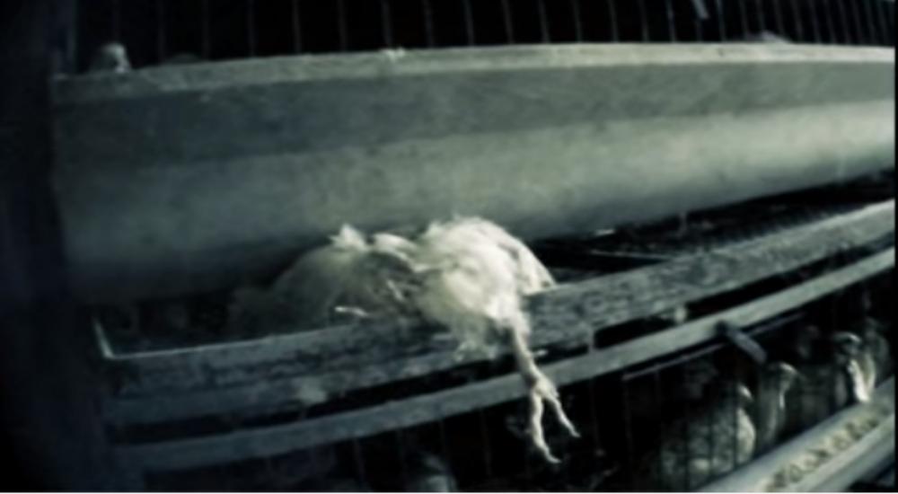 Oeufs de caille des conditions d 39 levage mis rables pour for Duree de vie des poules pondeuses