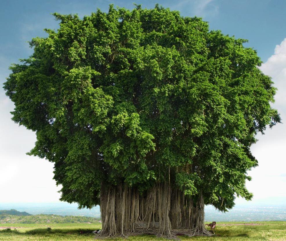 les 10 arbres les plus impressionnants au monde bio la une. Black Bedroom Furniture Sets. Home Design Ideas
