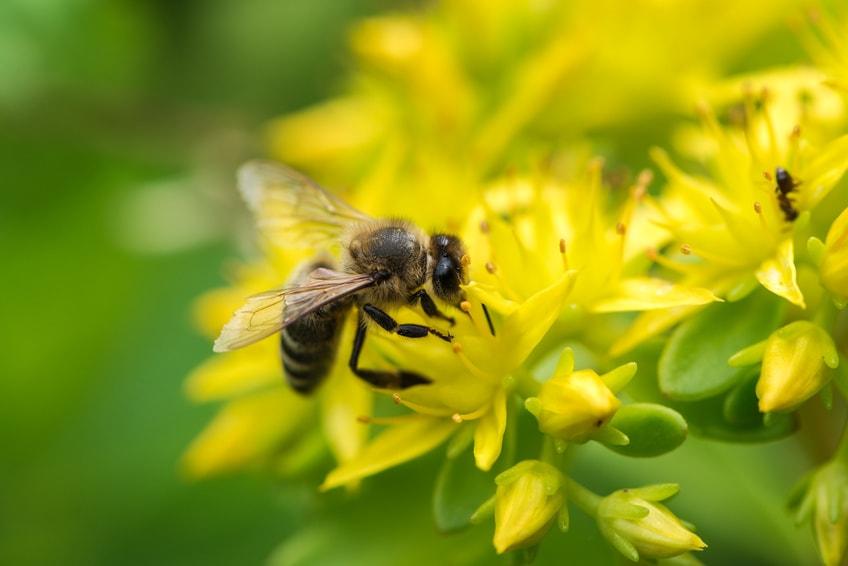 les abeilles une esp ce officiellement reconnue en voie de disparition bio la une. Black Bedroom Furniture Sets. Home Design Ideas