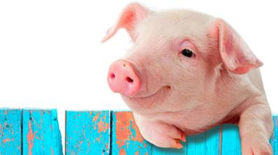 Cochon Image Élevage : un cochon heureux, ça change tout   bio à la une