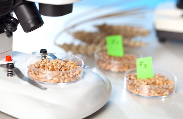 Coupelle de grains de blés étudiée au microscope
