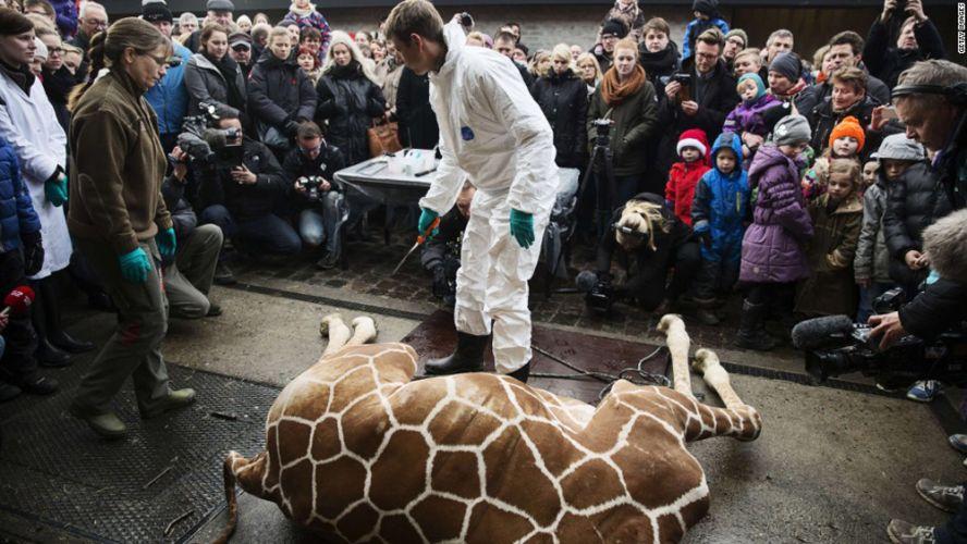 Un girafon est tué dans un zoo danois