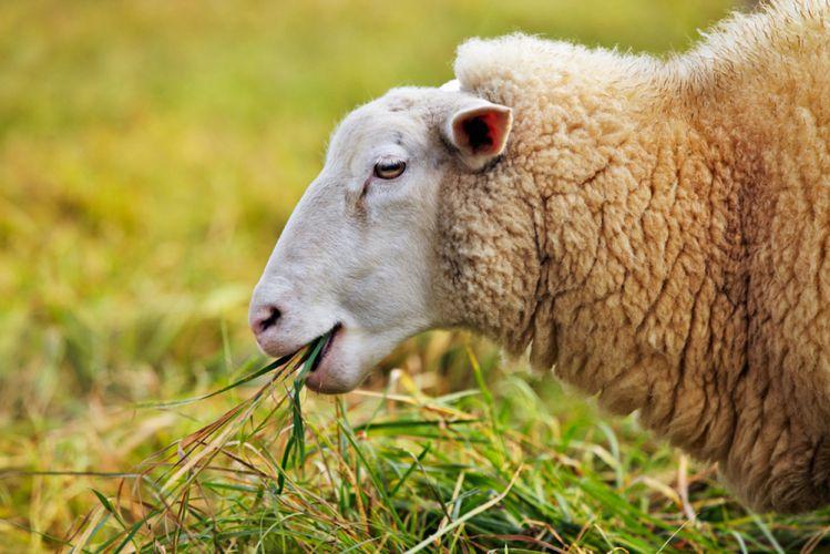 Dessine moi un mouton pour tondre mon gazon bio for Tarif pour tondre une pelouse