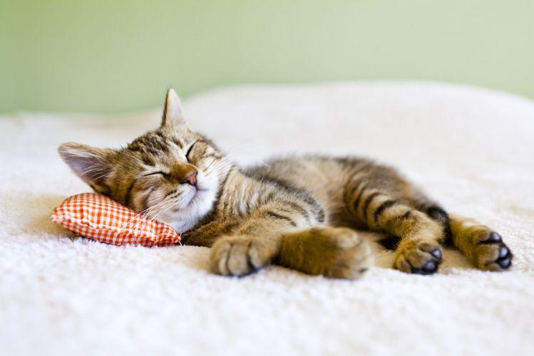 Chat endormi sur un coussin