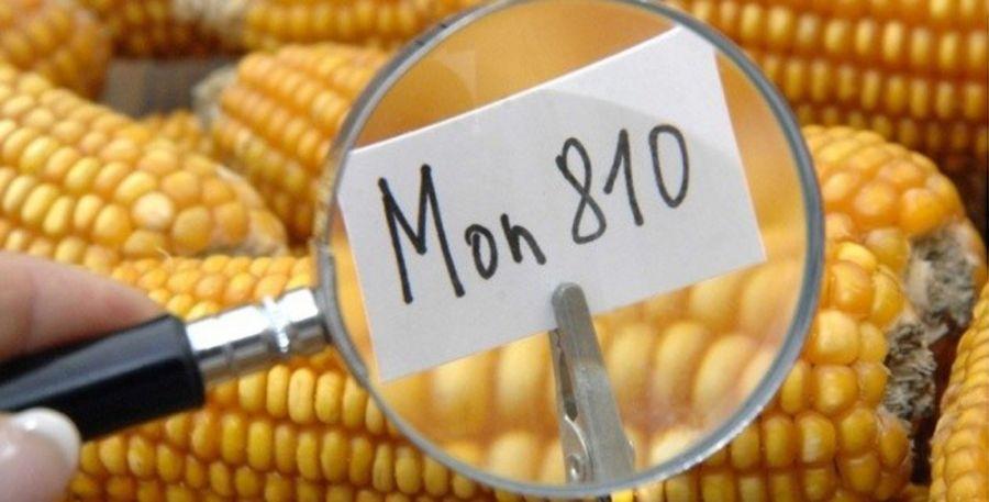 Zoom sur le maïs transgénique MON810 de Monsanto