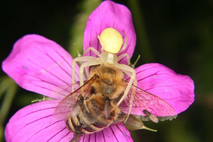 un pesticide base de venin d 39 araign e pour pr server les abeilles bio la une. Black Bedroom Furniture Sets. Home Design Ideas