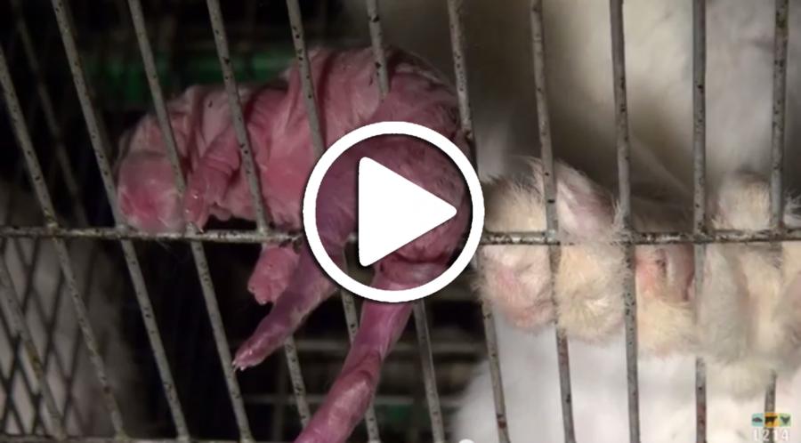 lapereau d'élevage suspendu à travers les barreaux d'une cage