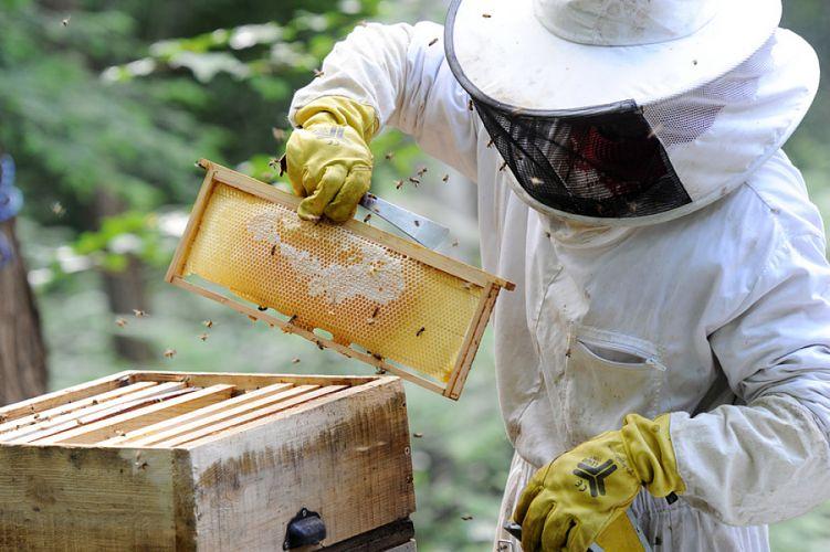 Apiculteur s'occupant d'une ruche