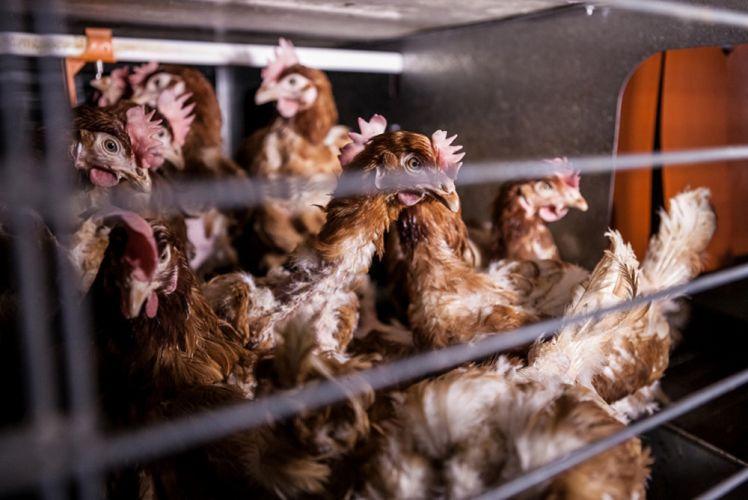 Poules en cage dans un environnement surpeuplé