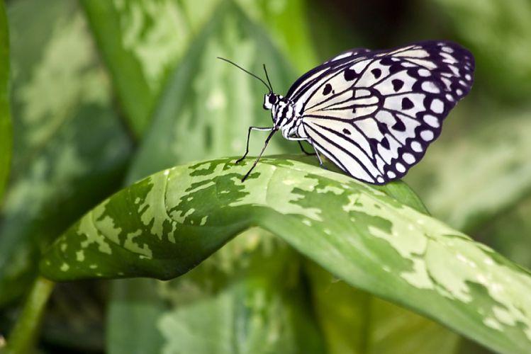 Des papillons OGM pour protéger les cultures