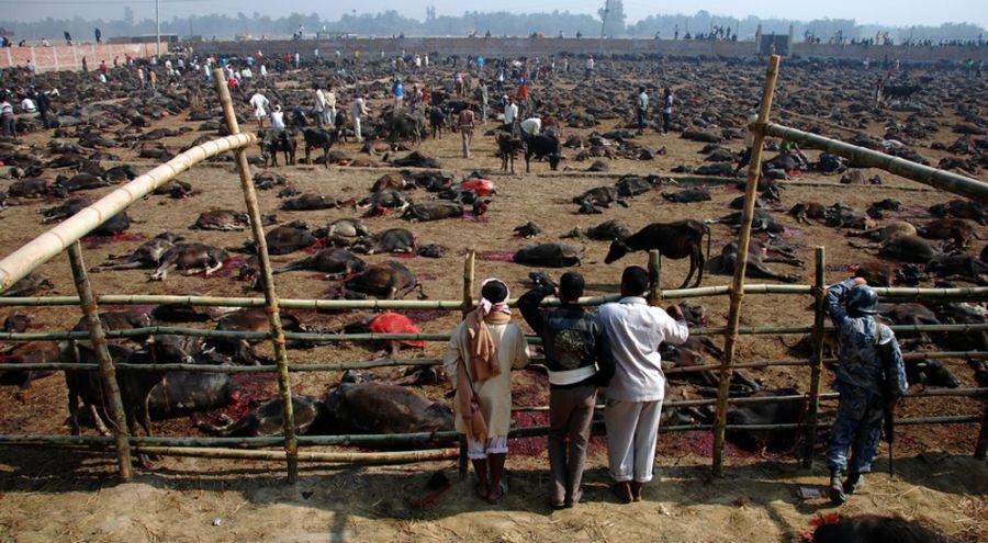Abbatage à ciel ouvert lors du festival Gadhimai