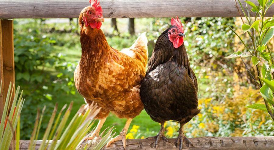 Nancy les poules coutent mozart pour se d tendre et pondre des ufs bio - La maison de la poule ...