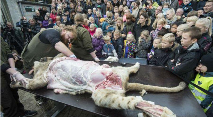 la dissection de la lionne au zoo d'Odense