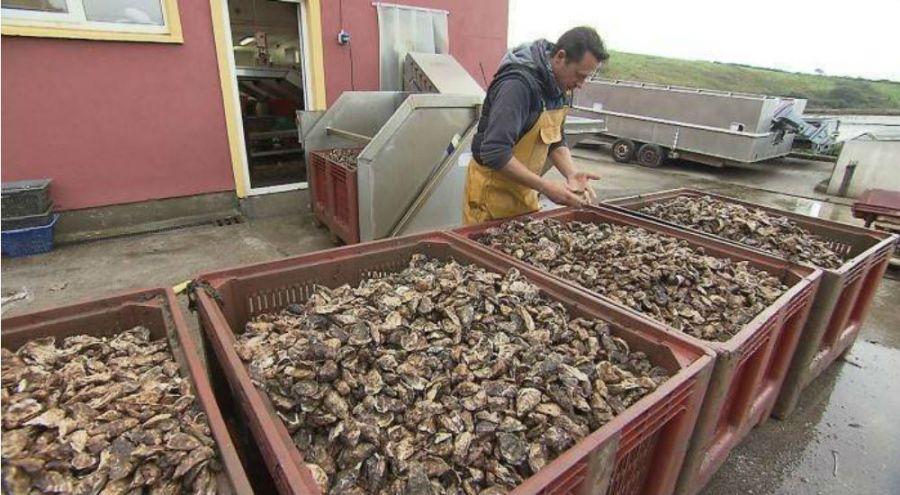 Un ostréiculteur devant ses bacs d'huîtres rouge