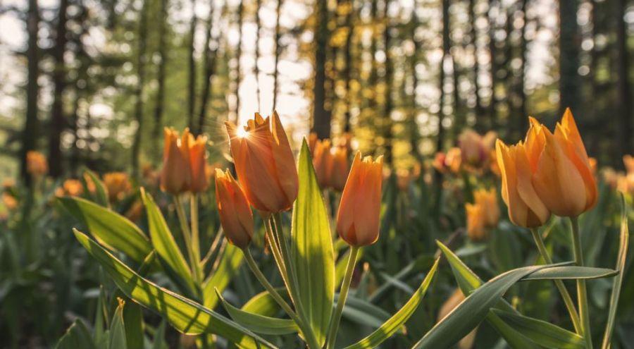 Un banc de tulipes au premier plan d'une photo de la forêt.