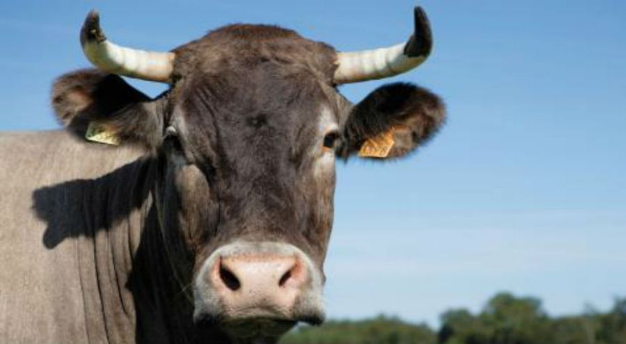une vache dans un champs