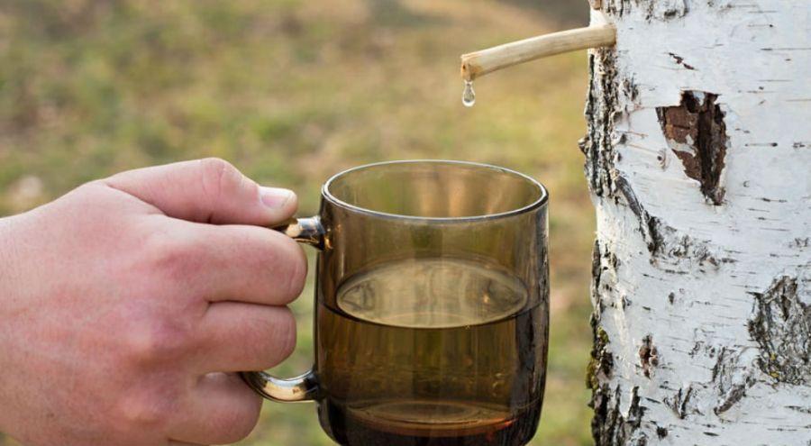 un homme récole de la sève de bouleau dans une tasse
