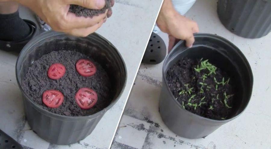 planter une rondelle de tomate
