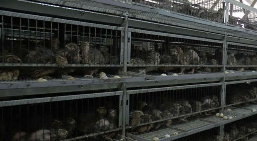 des cailles enfermées dans des cages dans un élevage