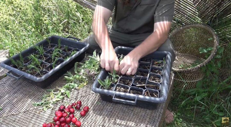 Jardinier bio faisant ses boutures de romarin