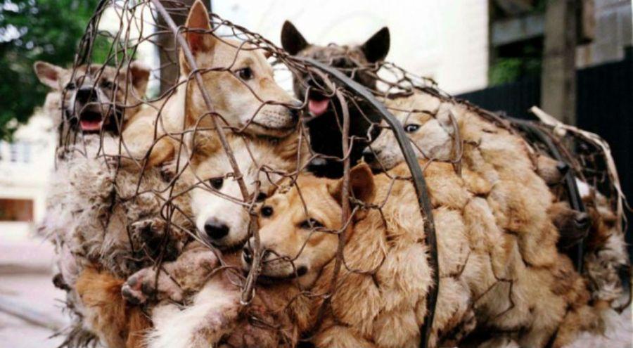 des chiens entassés dans des cages
