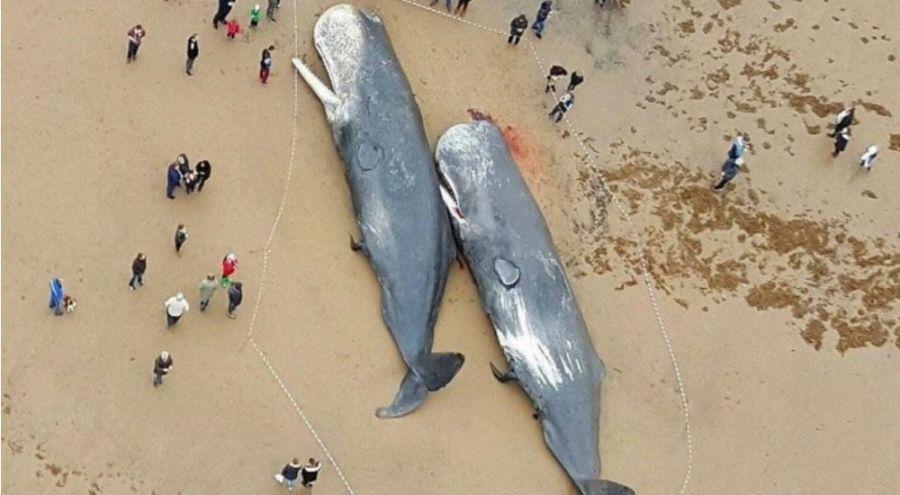 des cachalots échoués sur une plage