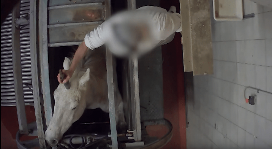 un employé abat un cheval dans un abattoir