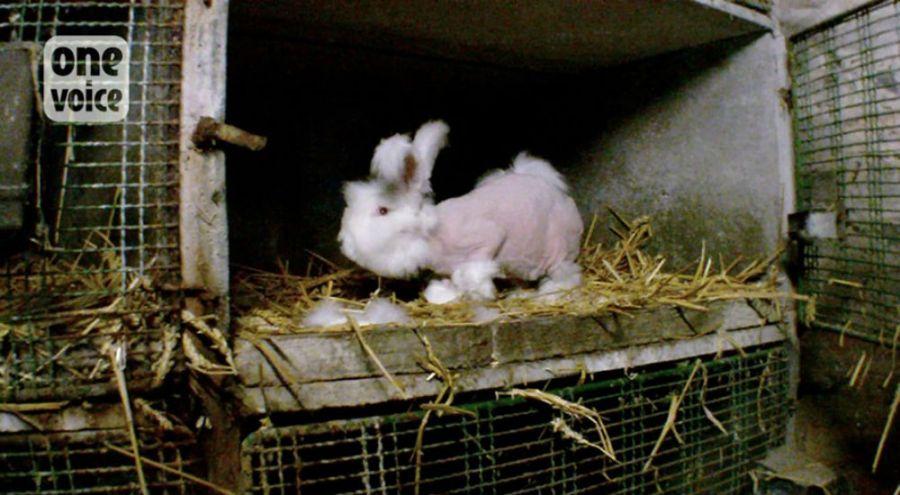 des lapins angoras victimes de maltraitance