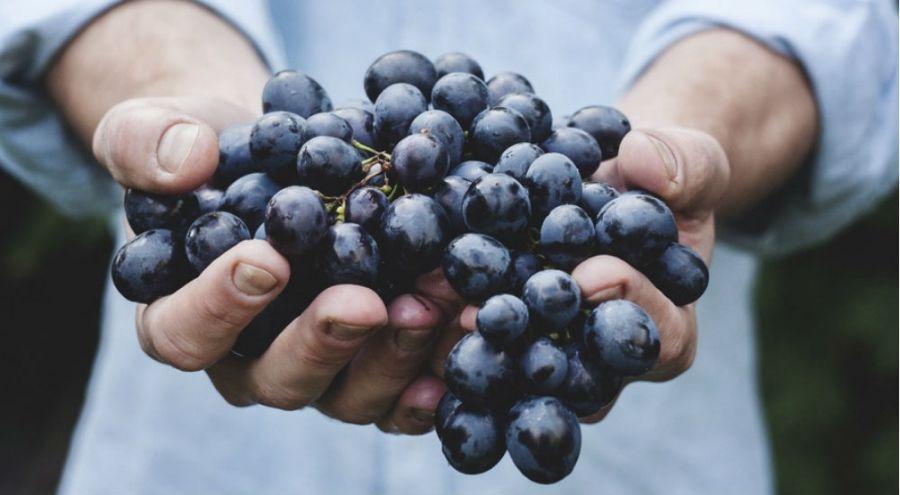 un homme tient du raisin dans ses mains