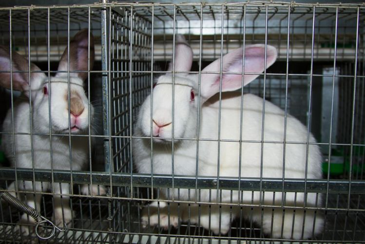 des lapins de laboratoires enfermés dans des cages