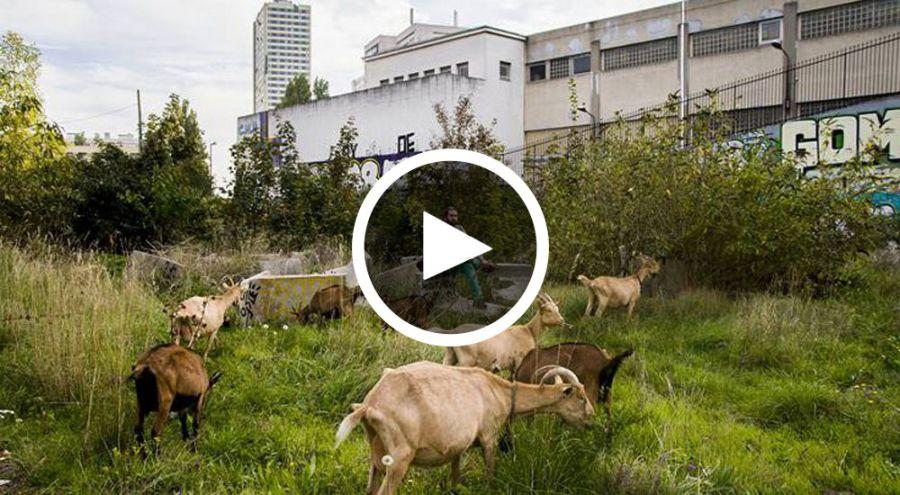 Un berger citadin regarde ses chèvres pètre au milieu des tours