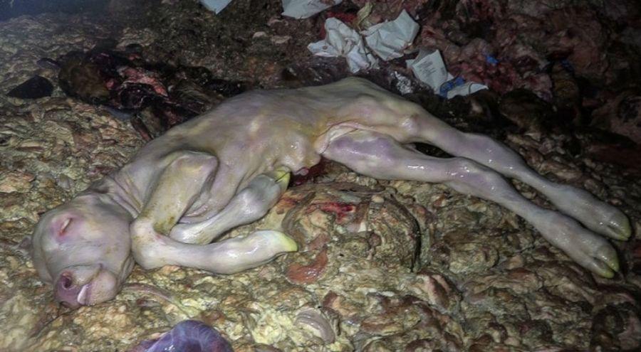 des foetus de vache jetés à la poubelle