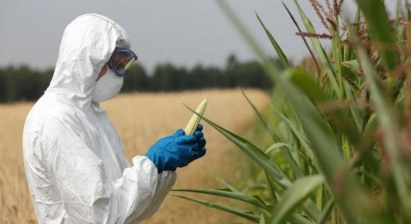 un scientifique manipule des épis de maïs OGM