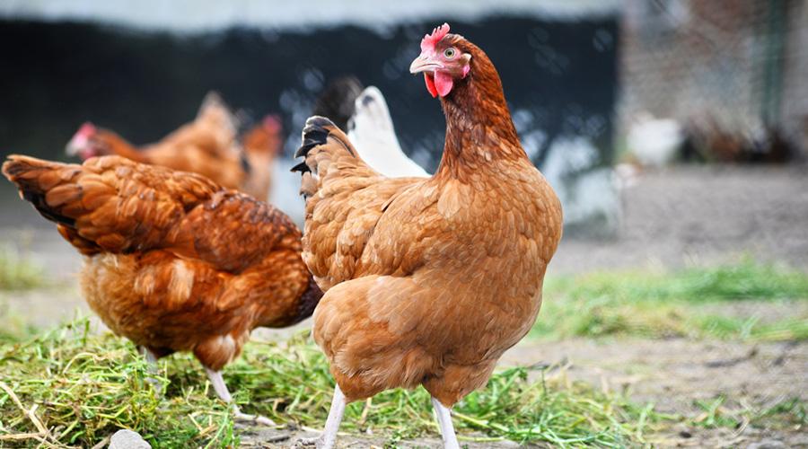 Biocoop lance de la nourriture bio pour nourrir ses poules for Duree de vie des poules pondeuses