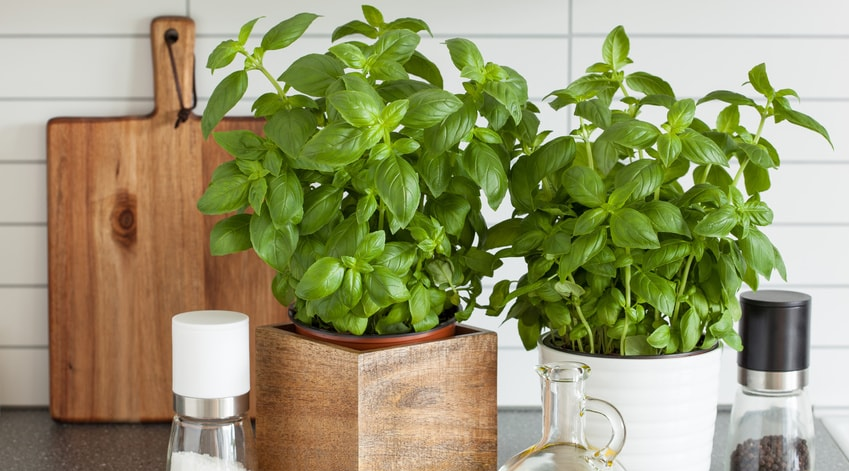 comment faire pousser ses plantes aromatiques dans sa cuisine bio la une. Black Bedroom Furniture Sets. Home Design Ideas