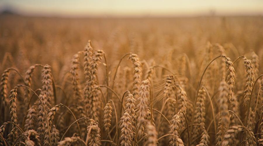 Champ de blé en pleine campagne