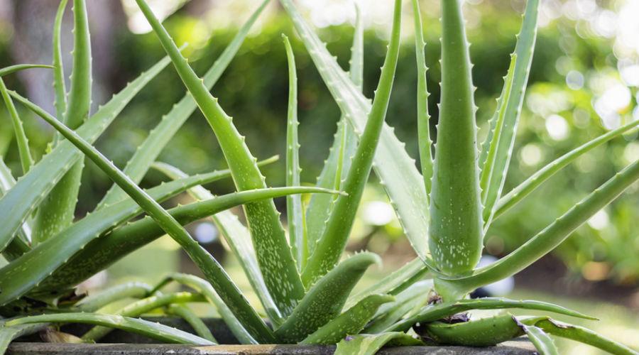 cultiver l'aloe vera pour récolter son gel