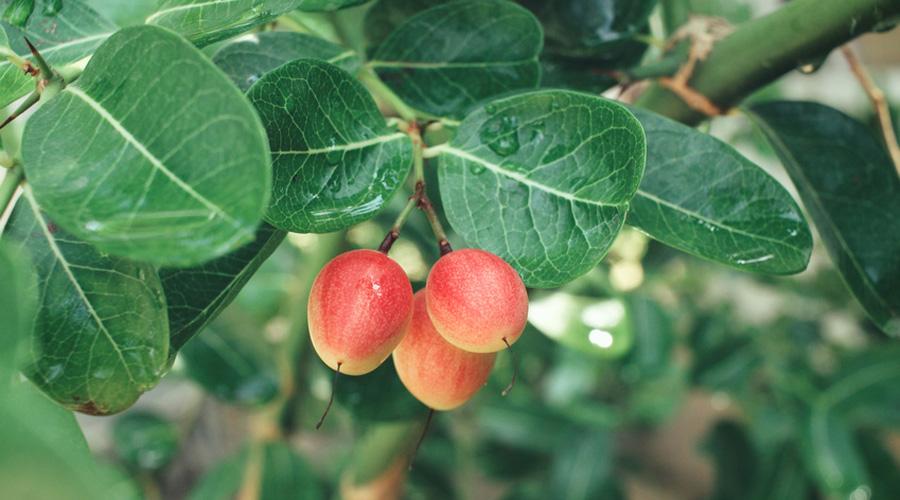 Fruit miracle sur un arbre