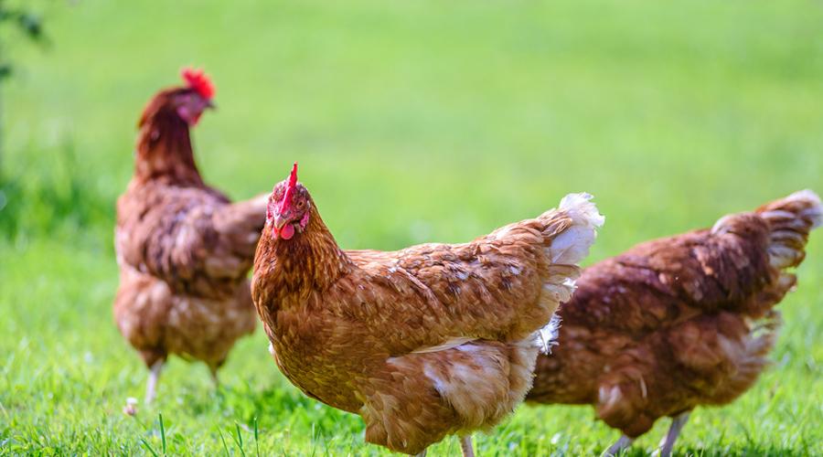 poules dans un champ, Maison de retraite pour poules