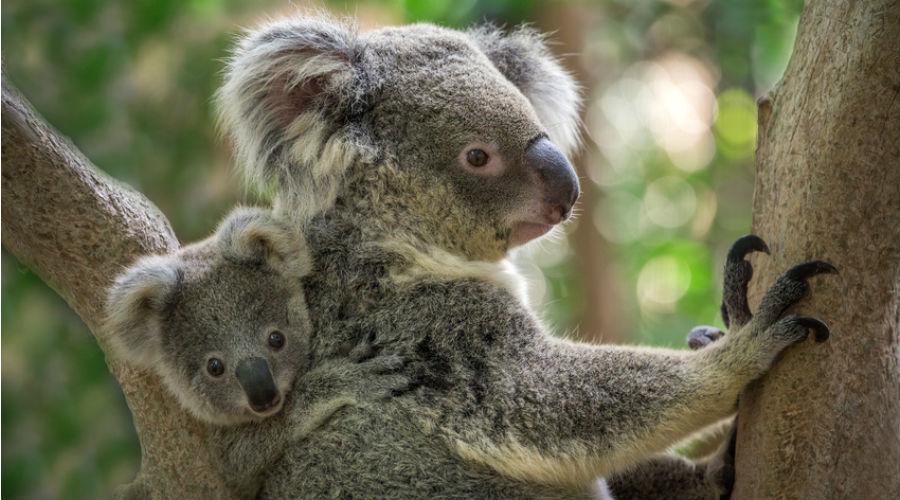 L'Australie promet des millions d'euros pour sauver ses koalas