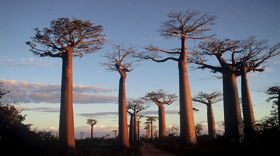 Les chercheurs alertent sur la disparition des baobabs millénaires d'Afrique