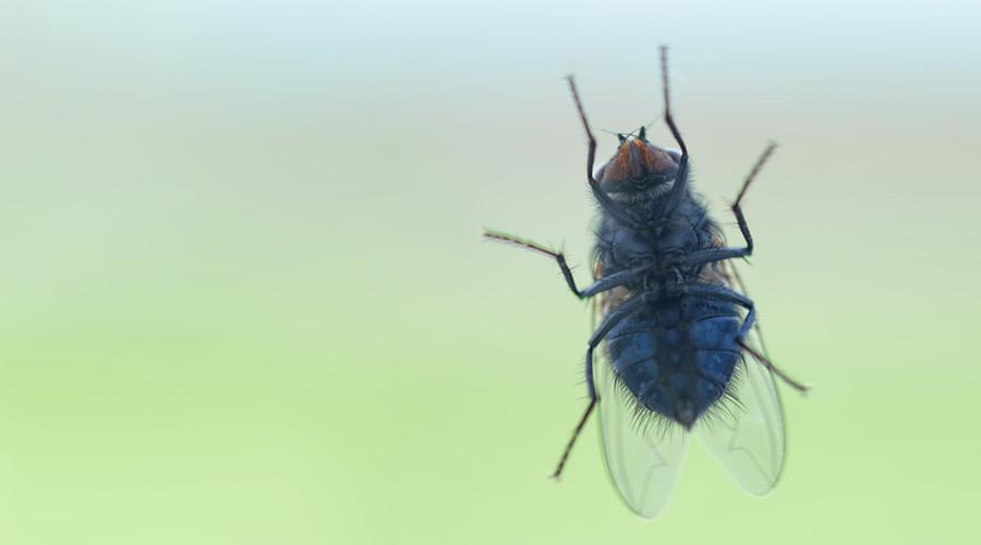 quels rem des naturels contre les mouches bio la une. Black Bedroom Furniture Sets. Home Design Ideas
