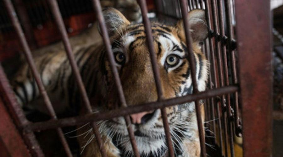 Un tigre de Sibérie de la troupe de cirque chinoise Prosperous Nation Circus, à Dongguan en Chine le 30 mai 2018