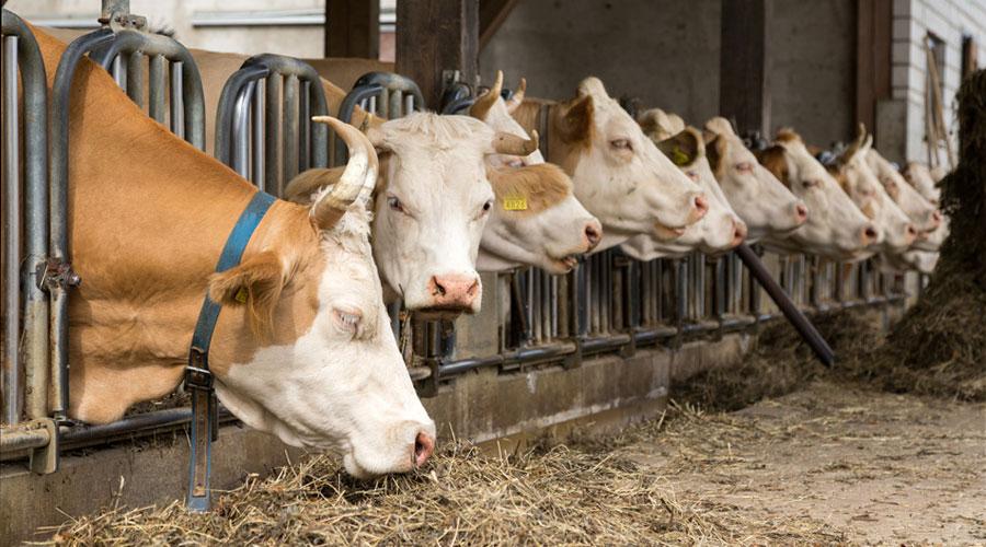 Elevage de vaches