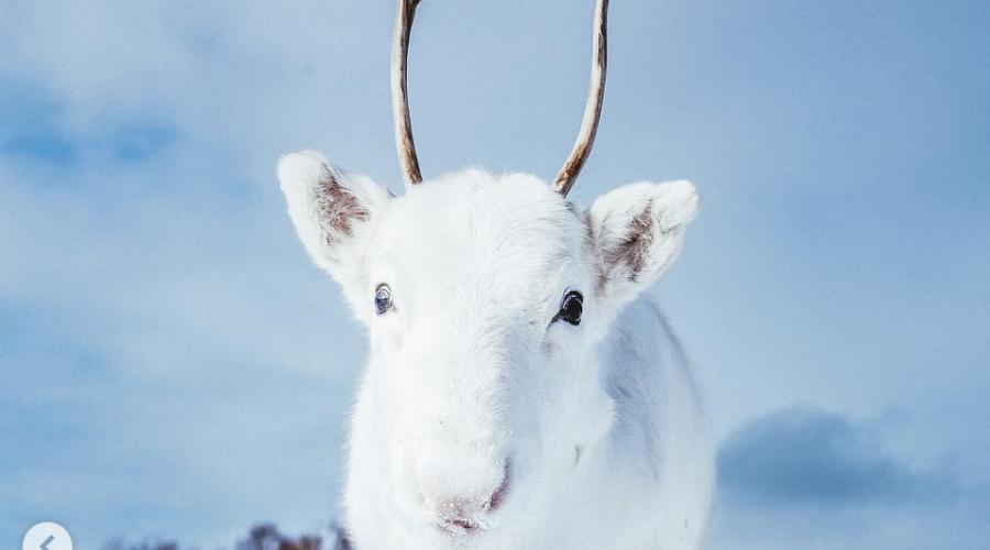 EN IMAGES. Un bébé renne blanc, très rare, est immortalisé en Norvège