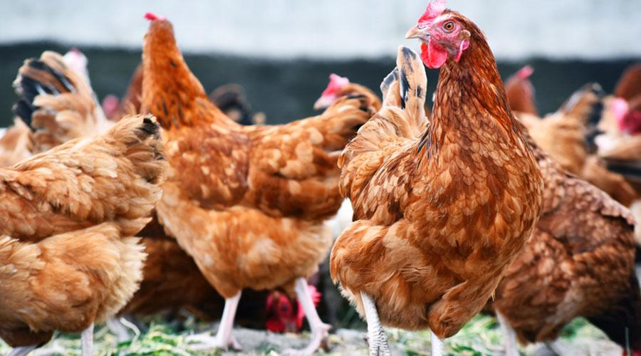Comment l'homme a modifié la morphologie du poulet d'élevage