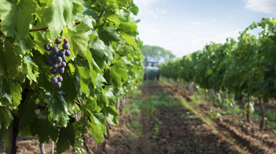 Grappe dans un champ de vignes