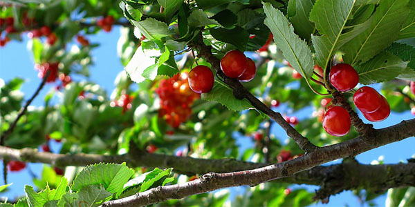 comment faire germer des noyaux et obtenir des arbres à fruits