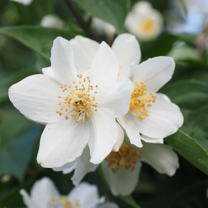 D couvrez les 6 plus belles fleurs d hiver bio la une - Jasmin blanc d hiver ...